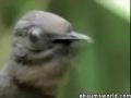 The Lyrebird - English