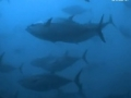 Animal Olympians: 100M Swim Sprint - Tuna, Marlin & Sailfish - English