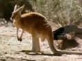 Animal Olympians - Triple Jump - Red Kangroo - English