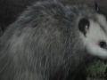 Virginia Opossum - Mini Documentary - English