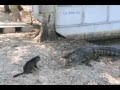 Domestic Cat Attacks Alligator - All Languages