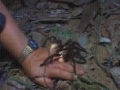 Survival Guide : What to do when Tarantula lands on you? English