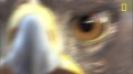 Golden Eagle vs. Jackrabbit - English