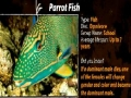Animal Facts - Parrot Fish - English