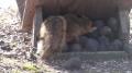 Fox Squirrel - Mini Documentary - English
