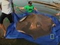 Giant fresh water ray - English