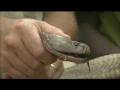 Largest Spitting Cobra - English