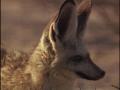 bat eared foxes - english
