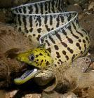 Natures Perfect Predators - Moray Eel - English