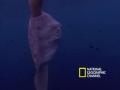 Giant Bizarre Fish - Mola Mola - English
