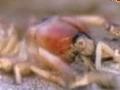 Camel Spider - English