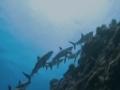Exploring a Sharks Intelligence - English