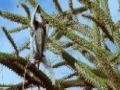 Strange mammals leap from tree to tree - English