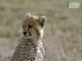 Wild Kingdom - Cheetah vs. Gazelle - English