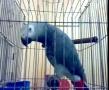 Kasuku a Shia Parrot - All Languages
