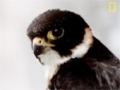 SubhanAllah - Falcon Midair Attack - English
