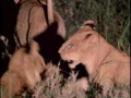 Porcupine vs. Lions - English