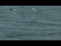 record flying fish seen-english