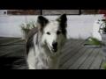 dog cloning -english